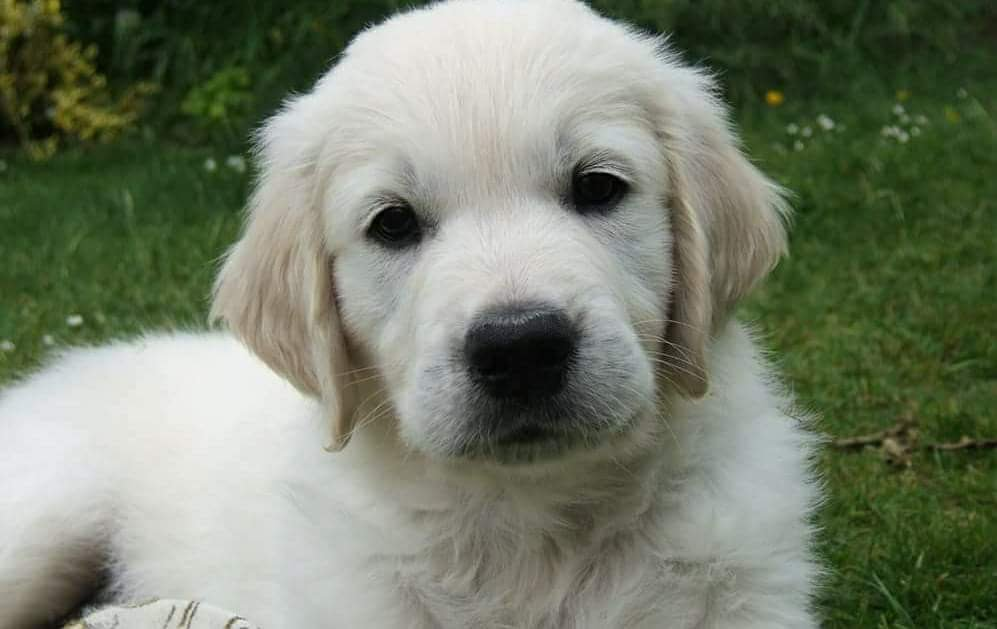 Oscar one of the 5 Golden Retrievers I looked after - here as a puppy